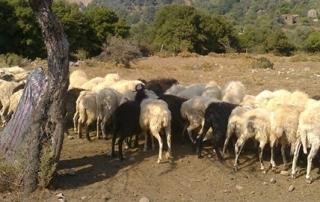 Εσπερίδα : «Προοπτικές ενός βιώσιμου μοντέλου  κτηνοτροφίας, στους ορεινούς όγκους»