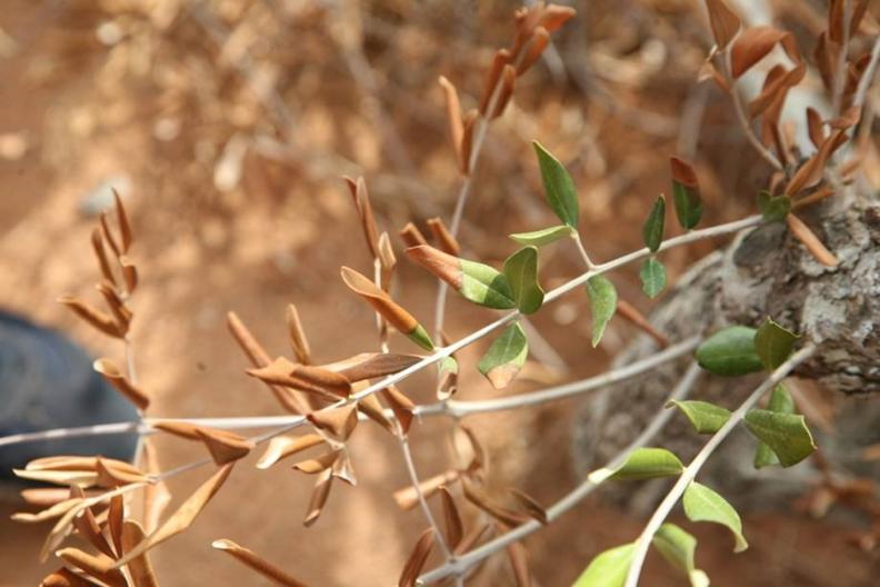 Eνημερωτικό  δελτίο για τον επιβλαβή οργανισμό Xylella fastidiosa